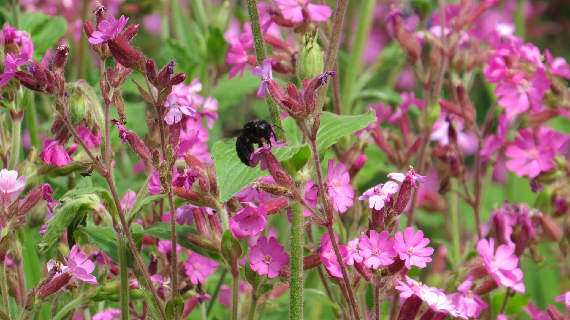 Pollinators monitoring in the garden
